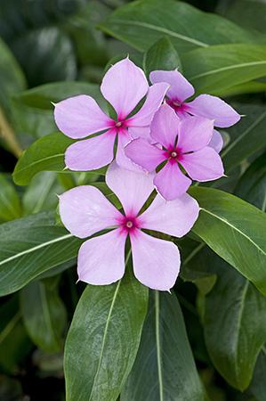 Madagascar Periwinkle. Used in treatment of Leukaemia.