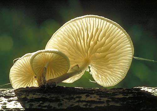 Porcelain Fungus (Oudemansiella mucida) Beech woodland, Surrey, England