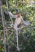 Proboscis Monkey, Sabah, Borneo