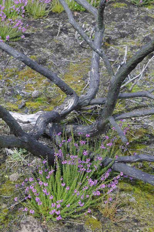 Heathland flowers in the year following a majopr fire