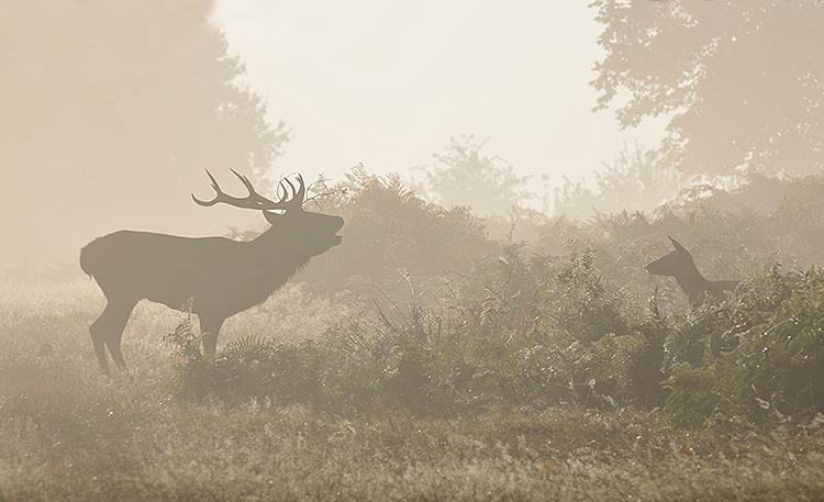 Red Deer (Cervus elaphus) Stag and hind.