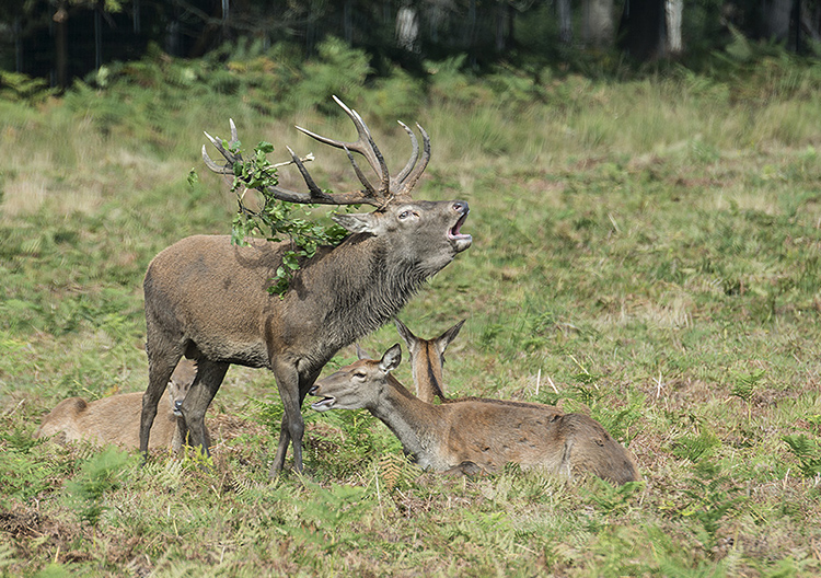 Red Deer: Cervus elaphus. Stag with hinds during rut