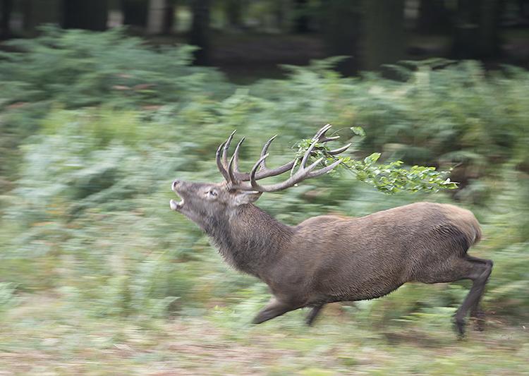 Red Deer: Cervus elaphus. Stag during rut
