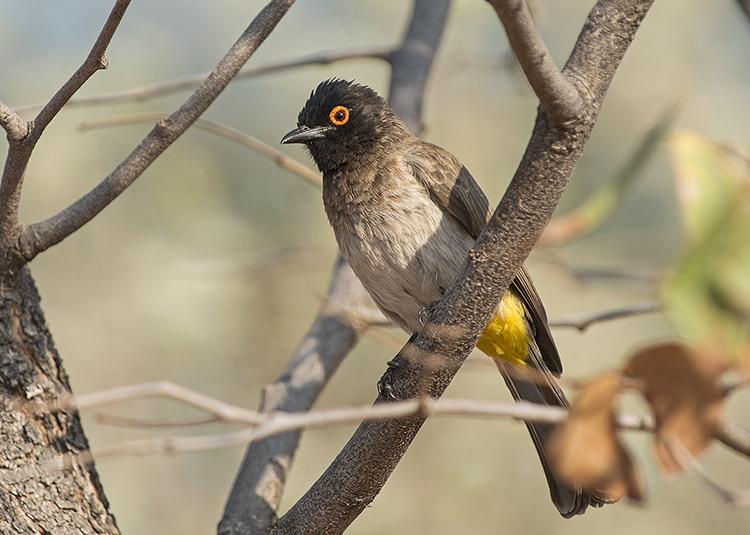 Red Eyed Bulbul, Etosha, Namibia.
