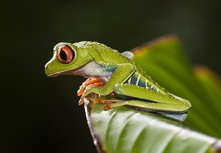 Red Eyed Tree Frog (Agalychnis calidryas)