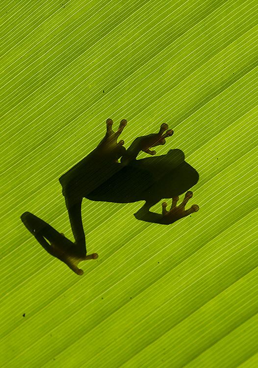 Red Eyed Tree Frog (Agalychnis calidryas) Silhouette.