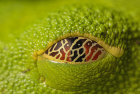 Red Eyed Tree Frog (Agalychnis calidryas) Half closed eye.