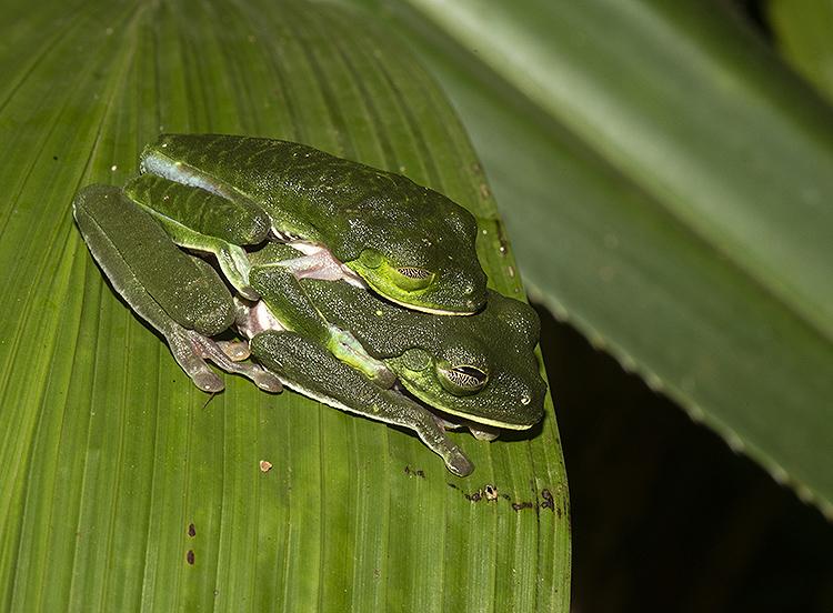 Red Eyed Tree Frog (Agalychnis calidryas) Mating pair.