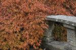 """Japanese Maple:  Acer palmatum """"dissectum"""""""