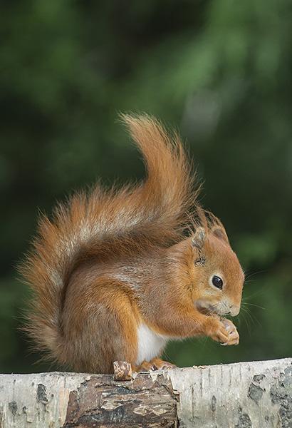 Red Squirrel:  Sciurus vulgaris. Captive