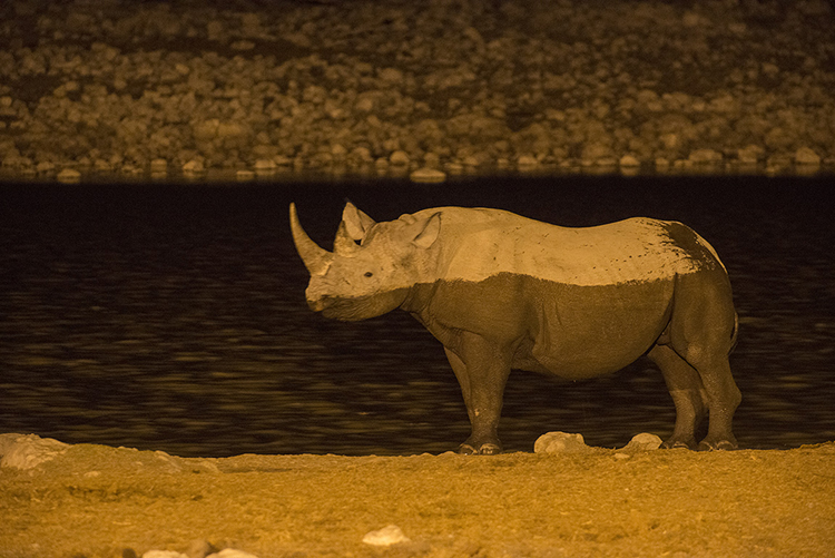 Rhinoceras at waterhole at night. Etosha, Namibia