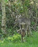 Roe Deer female with fawn. Surrey