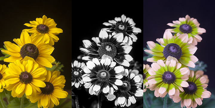 """Rudbeckia in visible, UV and """"bee vision"""""""