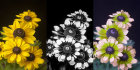 "Rudbeckia in visible, UV and ""bee vision"""