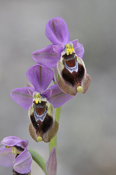 Sawfly Orchid: Ophrys tenthredinifera. Mallorca, Spain.
