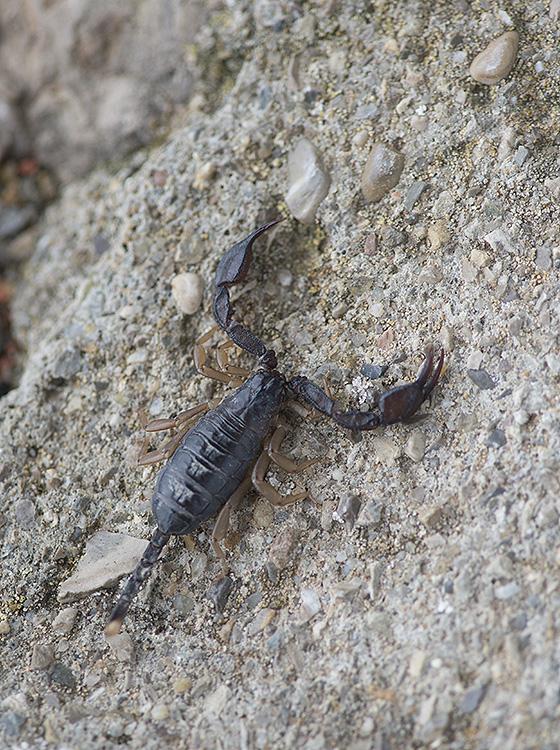Yellow Tailed Scorpion: Euscorpius flavicaudis. Provence, France