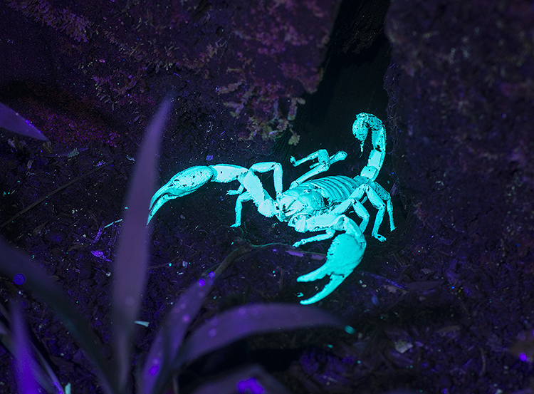 Scorpion, Danum Vally, Sabah, Borneo