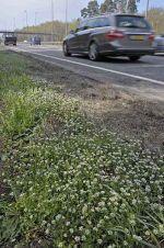 Danish Scurvy Grass: Cochlearia danica. Growing alongside A3 in Surrey.