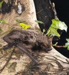 Serotine Bat: Eptesicus serotinus