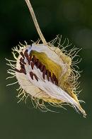 Seed pod of Bristly Fruited Silkweed, Sardinia.