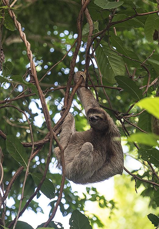 Three-Toed Sloth (Bradypus variegatus)