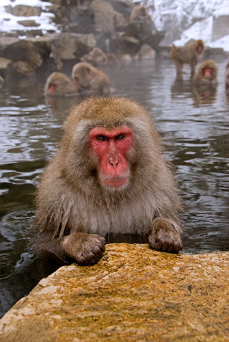 Japanese Snow Monkey: Macaca fuscata. Large male.