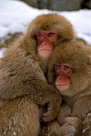 Japaneses Snow Monkeys: Macaca fuscata. Huddling together for warmth