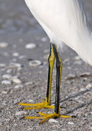 "Snowy Egret - yellow ""slippers"". Florida."