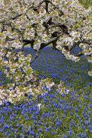 Spring Blossom: RHS garden, Wisley, Surrey