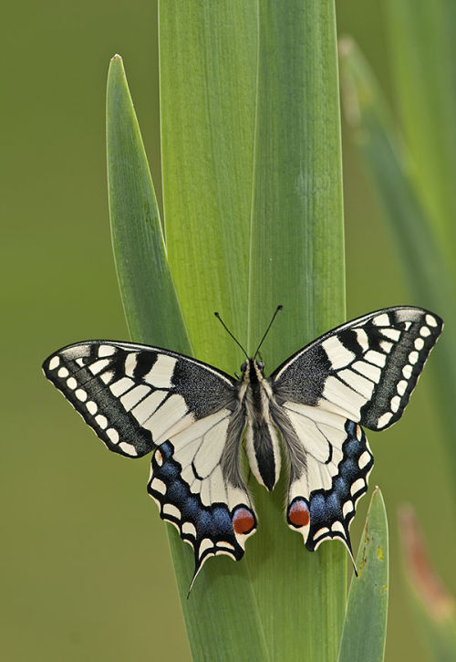Swallowtail (Papilio machaon) butterfly  - bred for photography