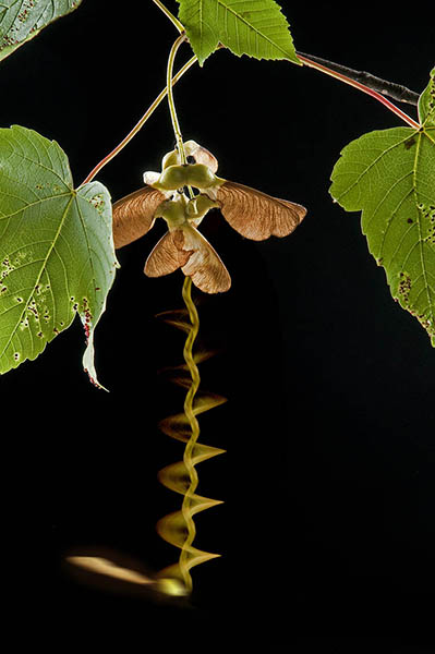 Sycamore seed spiralling down from tree
