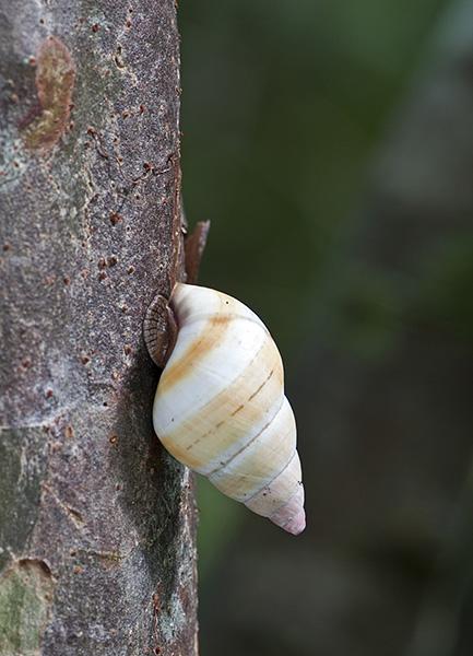 Everglades Tree Snail, Everglades, Florida