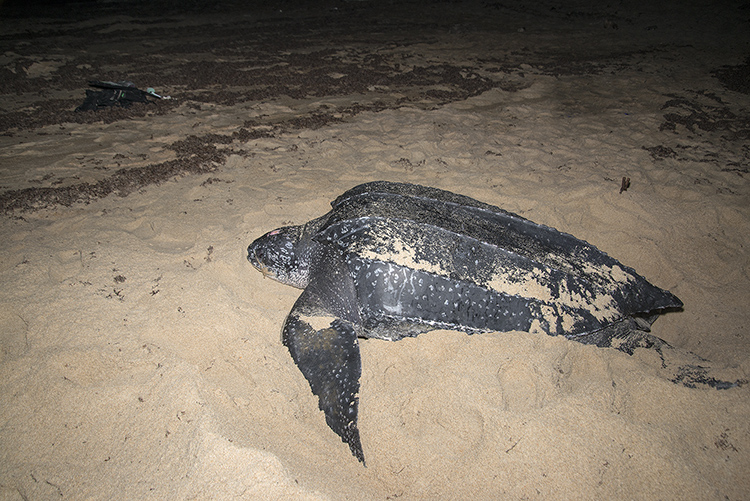 Leatherback Turtle at night, laying eggs