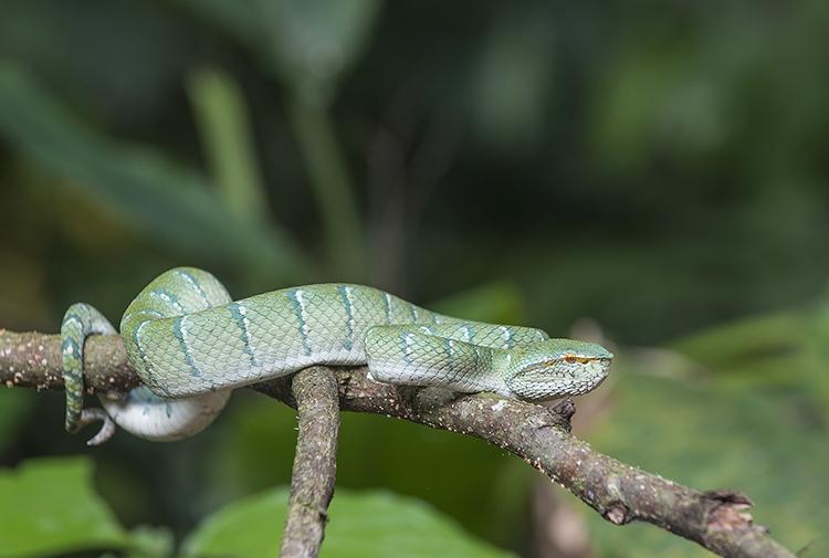 Wagler's Pit Viper, Danum Valley, Sabah, Borneo