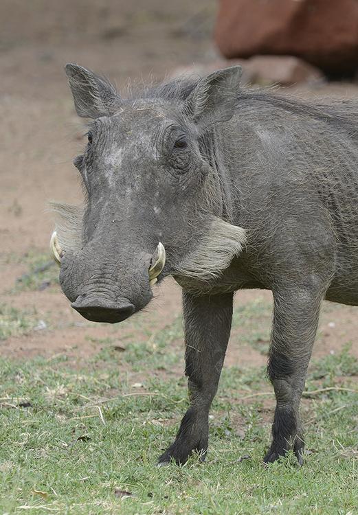 Warthog, Waterburg, Namibia