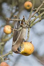 Waxwing: Bombycilla garrulus. Feeding on apple. Surrey, England in 2013