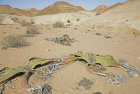 Weltwischia, Namib Desert