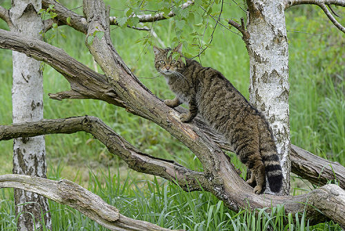 Scottish Wildcat (Felis sylvestris)
