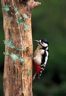 Greater Spotted Woodpecker (Dendrocopos major) Surrey, England