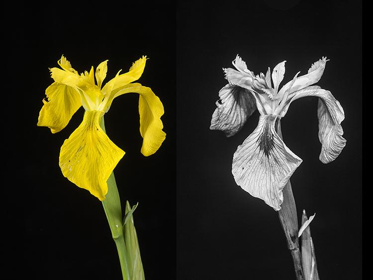 Yellow Flag Iris: Iris pseudacorus, in visible and UV light