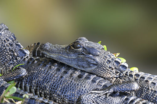 Baby Alligator, Shark Valley, Florida