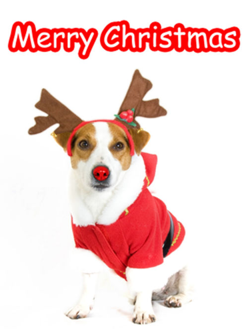 Christmas Jack Russell