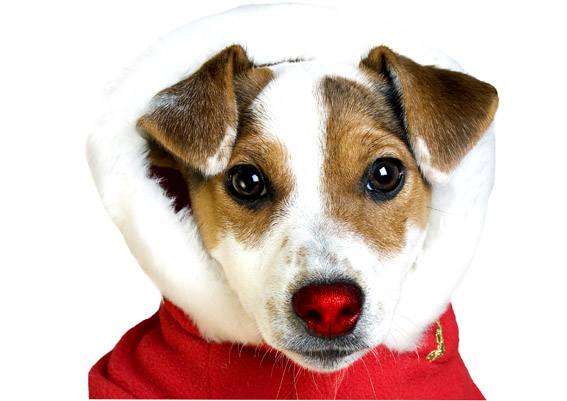 Red nose Jack Russell