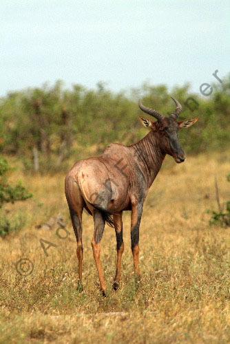 Common tsessebe or sassaby (Damaliscus lunatus)