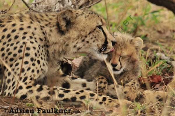 Cheetah Mother & Cub