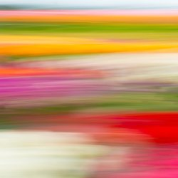 the colours of the tulip fields