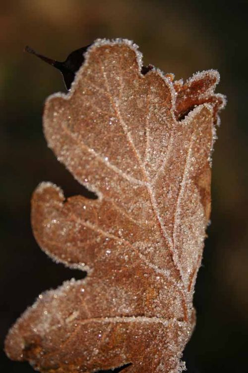 Leaf in frost, canon EOS 350D