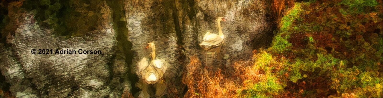 153-swans