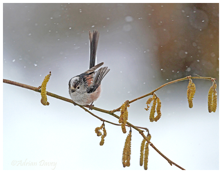 Long Tailed Tit in snow shower