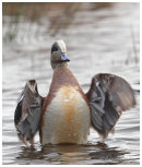 American Wigeon,male.